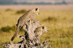 两头幼小猎豹 库存图片