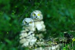 两头幼小猫头鹰 图库摄影