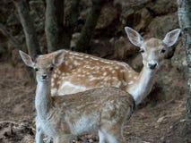两头幼小鹿黄鹿鹿 库存照片