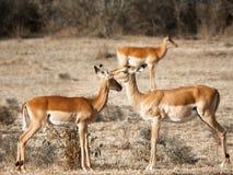 两紧挨着站立和接触他们的头的幼小羚羊以在马萨伊玛拉的大草原为背景 免版税库存照片