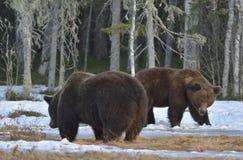 两头棕熊冲突控制权的 免版税库存图片