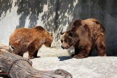 两头棕熊在动物园里 免版税图库摄影