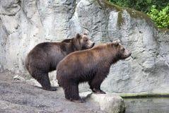 两头棕熊 免版税库存照片