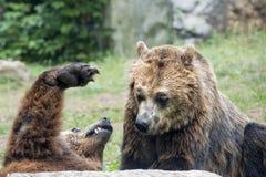 两头棕色北美灰熊,当战斗时 免版税图库摄影