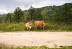 两头棕色母牛在草甸在哈萨克斯坦吃草, 库存图片