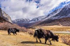 两头棕色西藏牦牛在雪山牧场地在亚丁 库存图片