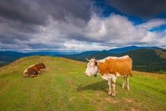两头母牛在一个喀尔巴阡山脉的草甸吃草 免版税库存照片