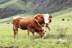 两头母牛在一个绿色草甸吃草 免版税图库摄影