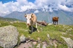 两头母牛在山的一个草甸 佐治亚 库存图片