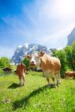 两头母牛在牧场地 免版税库存照片