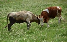 两头母牛战斗 免版税库存图片