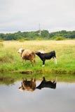 两头母牛由水吃草 波儿地克的唾液, Baltiysk,俄国 库存图片