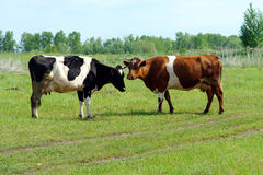 两头母牛立场在草甸 库存图片