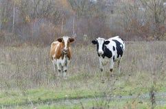 两头母牛调查透镜 免版税库存照片
