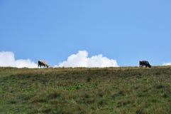 两头母牛,草甸 库存照片