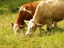 两头母牛 免版税库存照片