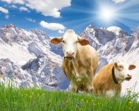 两头母牛 库存照片