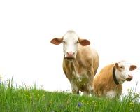 两头母牛 免版税库存图片