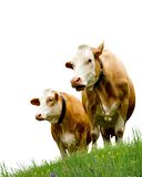 两头母牛 免版税图库摄影