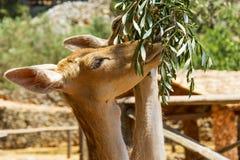 两头母鹿吃叶子橄榄树枝 库存照片