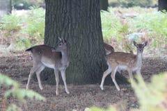 两头母鹿小鹿 免版税库存照片