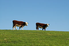两头毛茸的母牛 库存图片