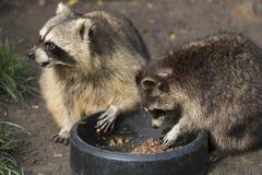 两头浣熊吃 免版税库存图片