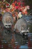两头浣熊浣熊属lotor走出去到日志的末端 库存图片