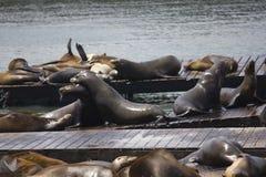 两头海狮拥抱 库存照片