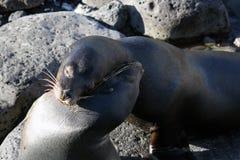 两头海狮拥抱  图库摄影