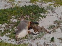 两头澳大利亚海狮 免版税库存照片