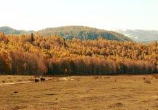 两头牛沿在秋天草的路散步 库存图片