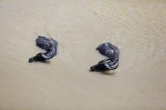 两头水牛游泳在泥泞的河,缅甸 图库摄影