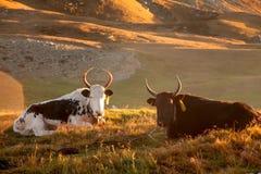 两头牦牛作为休息在草甸 库存照片