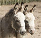 两头驴特写  库存照片