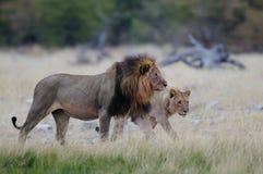两头狮子奔跑 库存照片