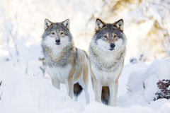 两头狼在冷的冬天森林里 免版税库存图片