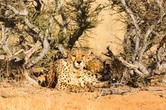 两头猎豹在埃托沙国家公园,纳米比亚 免版税库存图片