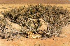 两头猎豹在埃托沙国家公园,纳米比亚 免版税图库摄影