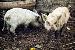 两头猪在农场 免版税库存图片
