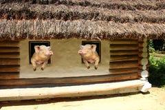 两头猪看彼此从老农村房子窗口  库存照片