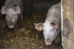 两头猪画象在秸杆的一个猪圈 免版税库存图片
