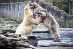 两头男性北极熊战斗和叮咬 北极熊关闭  阿拉斯加,北极熊 大白熊在春天在森林里 Pola 图库摄影