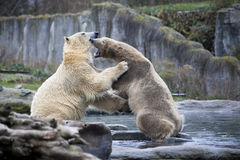 两头男性北极熊战斗和叮咬 北极熊关闭  阿拉斯加,北极熊 大白熊在春天在森林里 Pola 免版税图库摄影