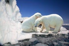 两头白色北极熊 免版税图库摄影