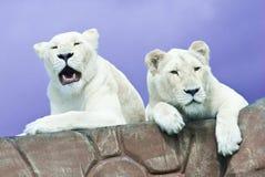 两头白色狮子 库存图片