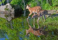 两头白色被盯梢的鹿在水中讨好反射 免版税库存照片
