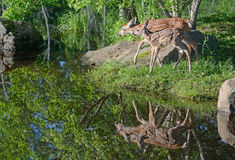 两头白色被盯梢的鹿在水中讨好反射 免版税库存图片