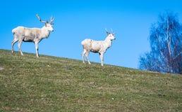两头白色鹿看 图库摄影