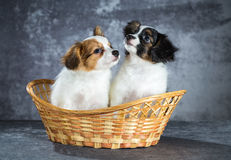 两滑稽的Papillon小狗 免版税库存图片